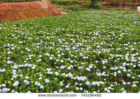 Dalat 26 October 2017 Hydrangea Flowers Are Blooming In All Dalat S Garden Hydrangea Garden Hydrangea Flower Outdoor Gardens