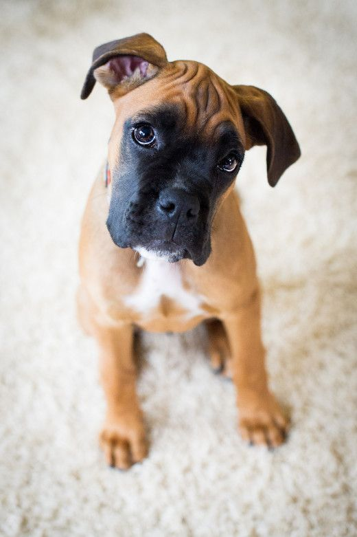 Boxer Puppy For Puppy Fridays From Underdog Rescue Of Arizona With Images Boxer Dogs