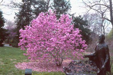 Ann Magnolia Tulip Tree Magnolia Hybrid Ann 3 Gallon