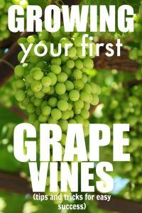 Grape Vines Are Some Of The Easiest Most Rewarding Plants That You Can Grow Perfect For Beginner Gardeners
