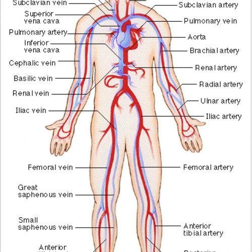 Human Blood Vessel Diagram | Dont u just LOVE nurses! | Pinterest ...