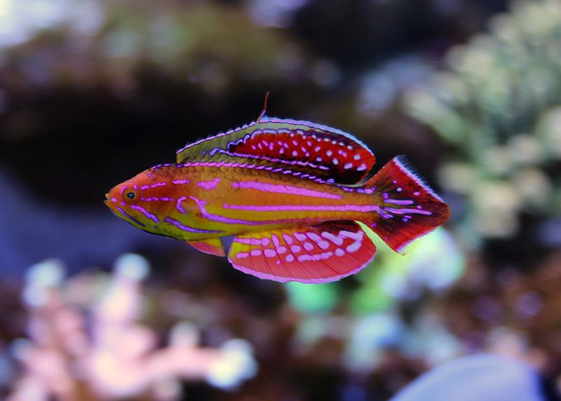 Attenuatus flasher wrasse my new fav wrasse reef for Community saltwater fish