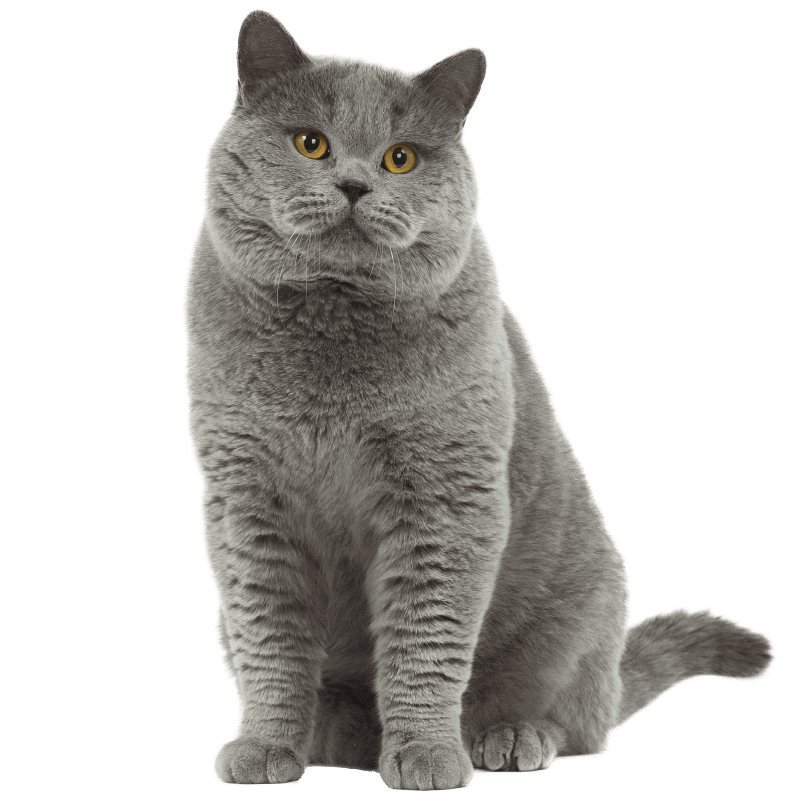 Choose British Shorthair Kittens For Adoption Give Your Kids A