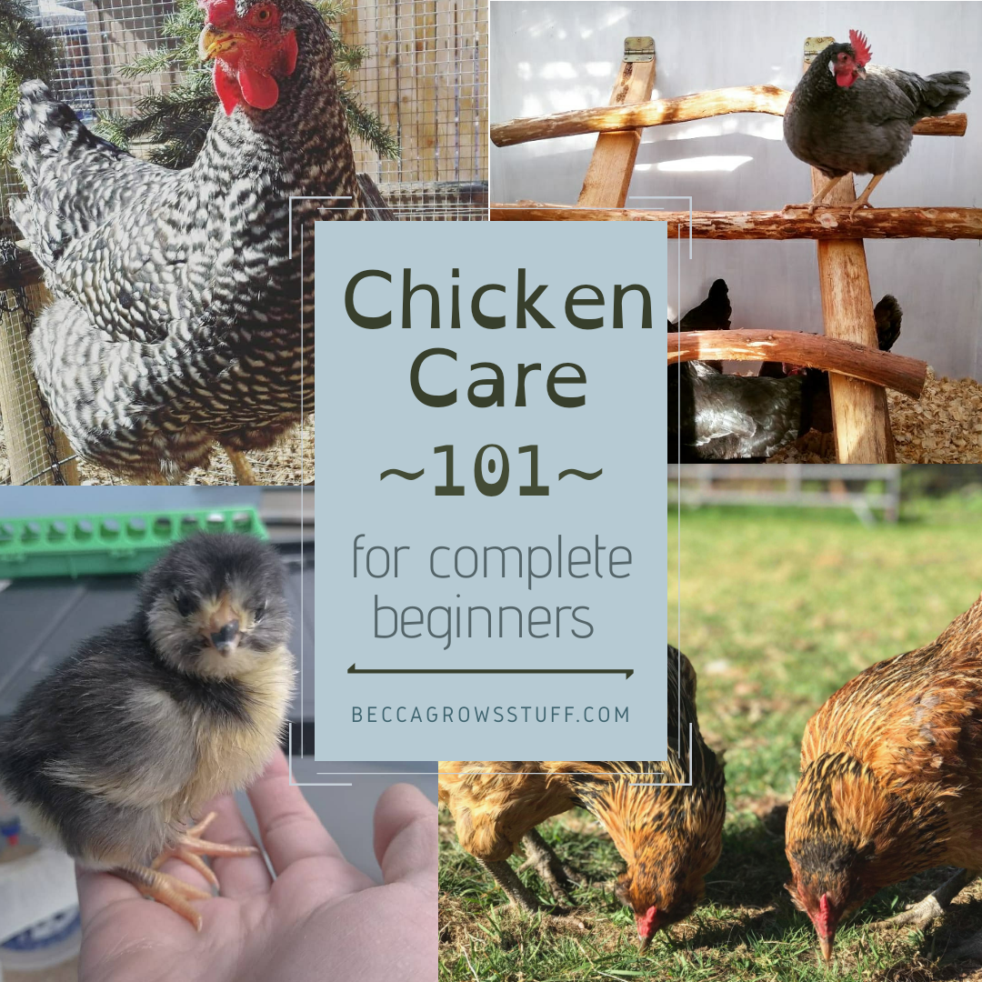 Chicken Care 101: A Guide For Complete Beginners in 2020 ...