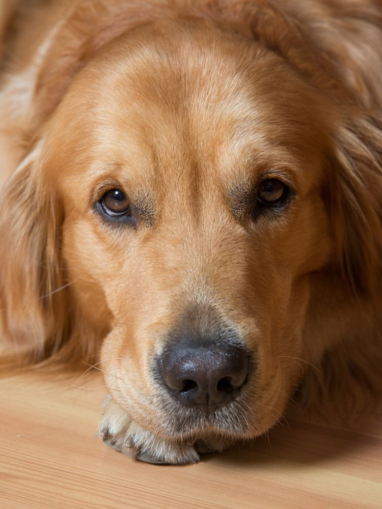 Golden Retrievers Can Have This One Heartbreaking Flaw Pet