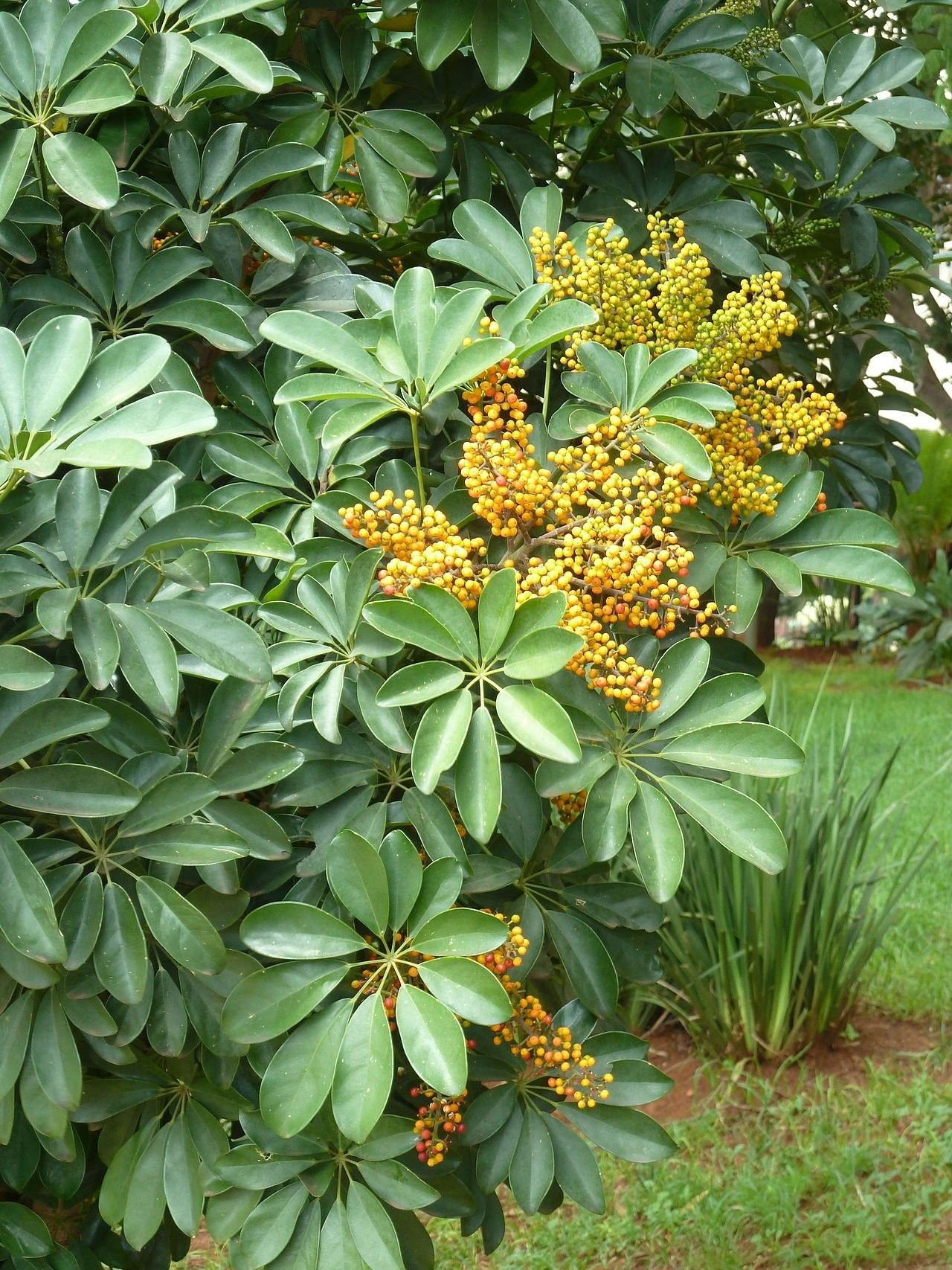 Fruits du schefflera arboricola folhagem casas