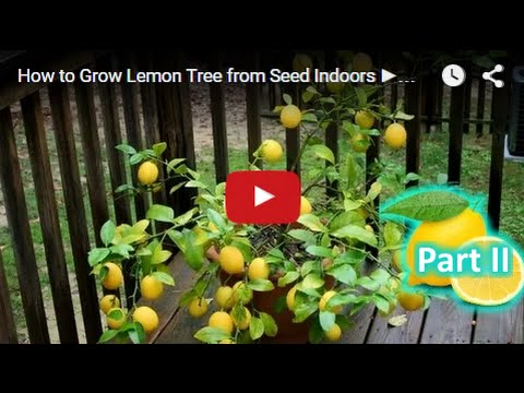 How To Grow Lemon Tree From Seed Indoors Fast Part 2 Youtube