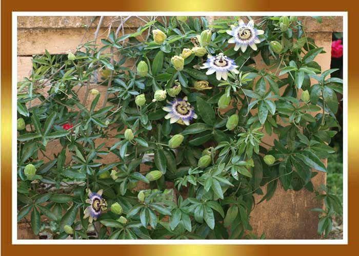 Resultado de imagen de flor de lapasion - passiflora