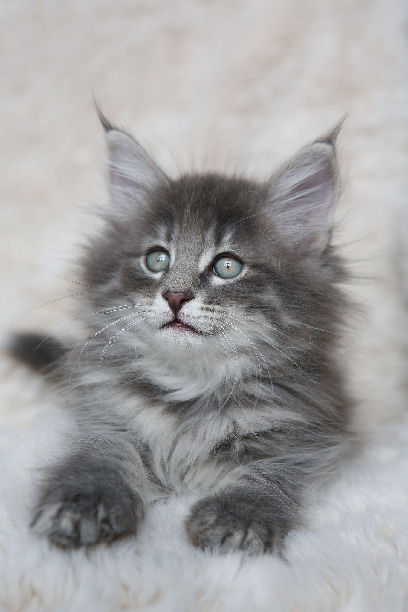 Nl Titran S Wenceslas 2 Months Old Male Kitten Cute Cats And Kittens Kittens Cutest Beautiful Cats