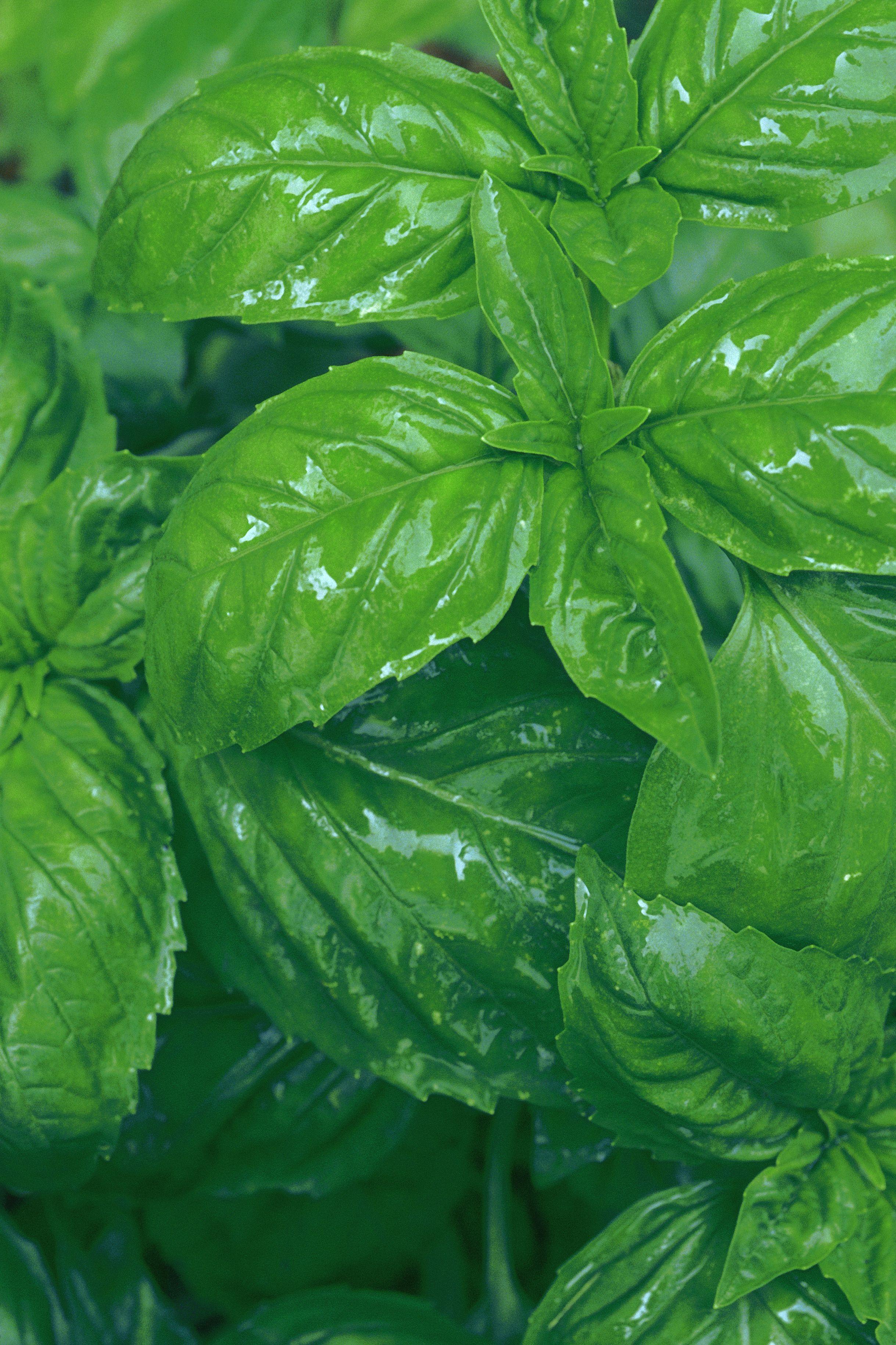 Albahaca hojas beneficios de