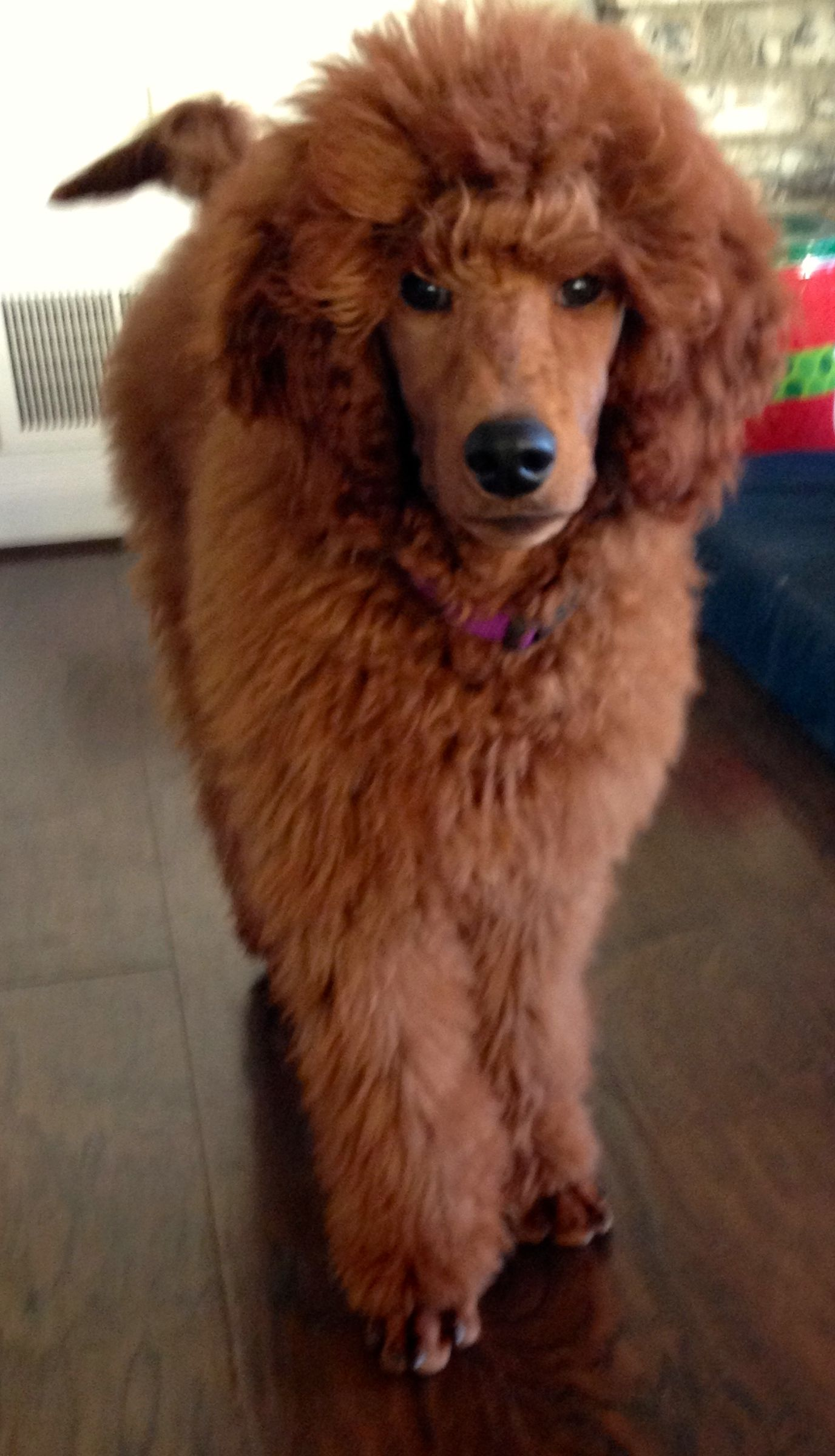 Adonai Rohit Of Lake Sai Red Poodles Akc Golden Retriever