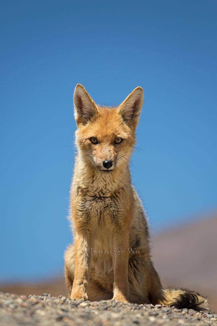 20140213_Atacama_352.jpg another jennifer wu fox shot