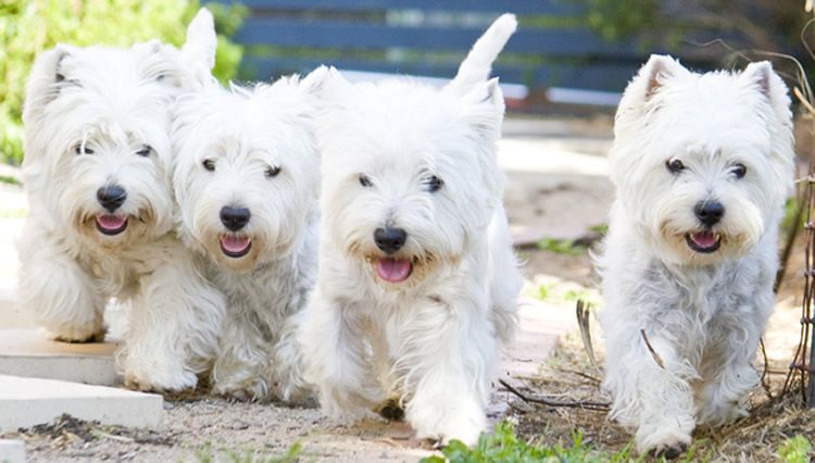 I Want To Name All Of These Westies Buttons Westie Puppies