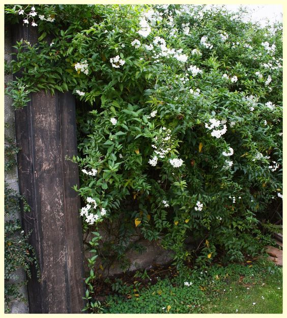 Quiet Corner Container Gardening Ideas: White Potato Creeper, Don't Be Fooled By A Name.