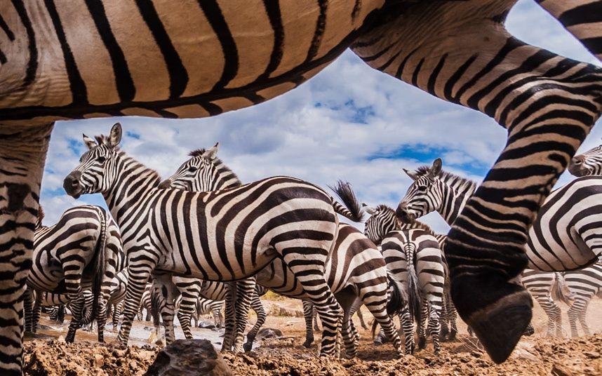 Una cámara oculta permitió capturar de cerca una manada de cebras mientras cruzaban el río Mara, Kenia (Manoj Shah, 2015)