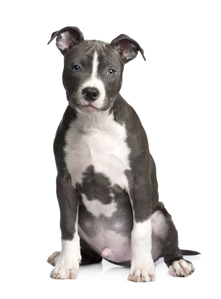 American Staffordshire Terrier Looks Like Our Nemo Pitbull Terrier Pitbull Welpen Staffordshire Terrier