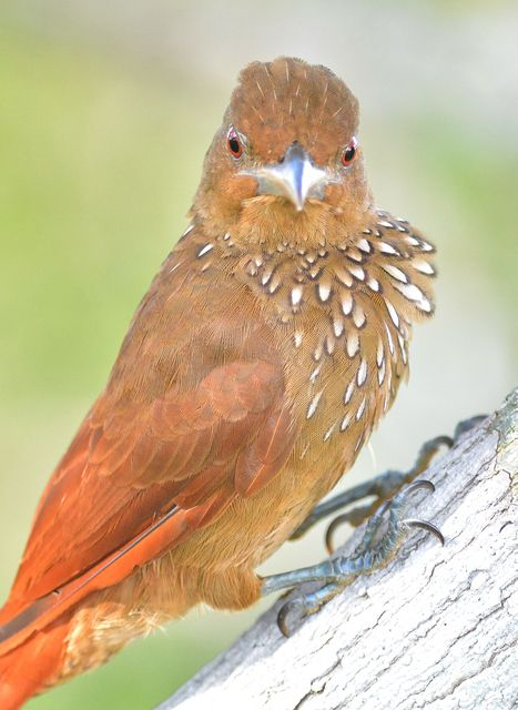 The Cinnamon Throated Woodcreeper Is A Species Of Bird In