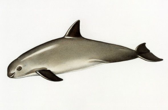 Brink of Extinction: A Technological Approach to Saving the Last Vaquita Porpoises