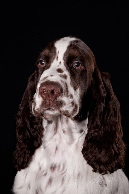 """Click visit site and Check out Cool """"English Springer"""