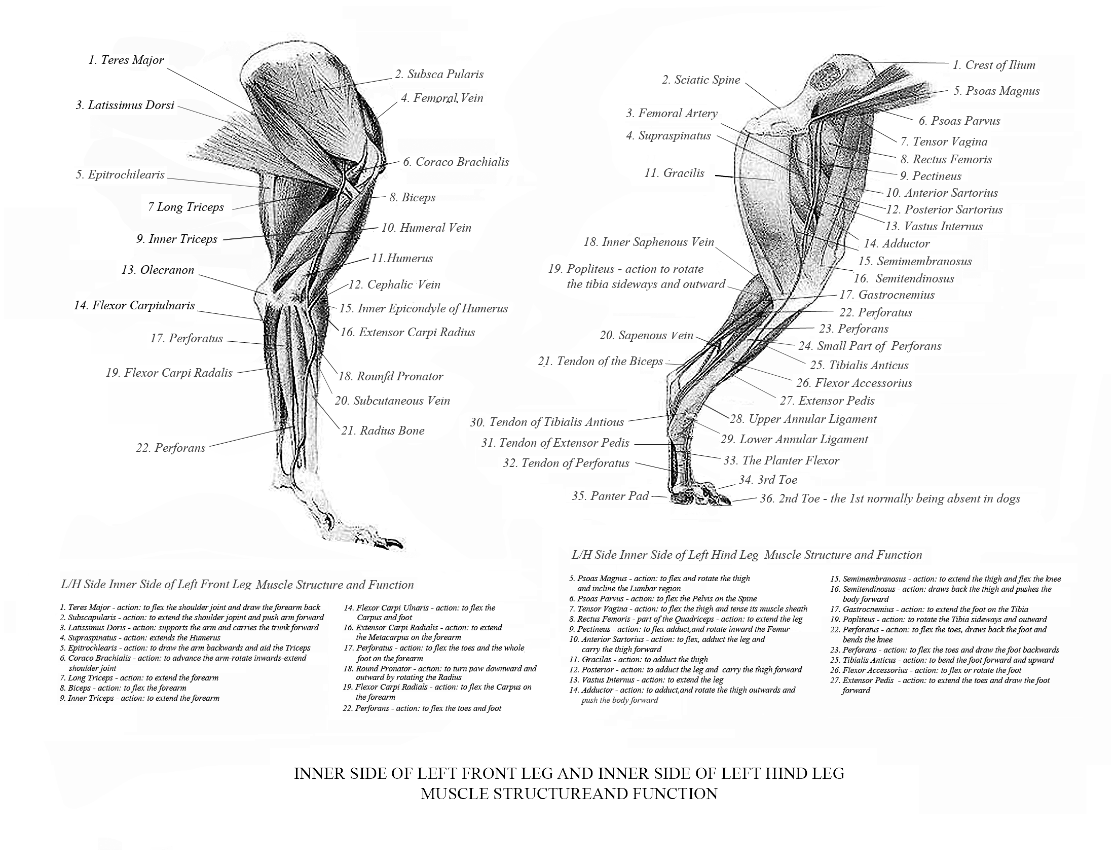 Greyhound Anatomy Diagram  The Inner Side of the Front