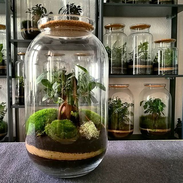 Bonsai Berlin bonsai microforest ficus surrounded by moss terrarium from