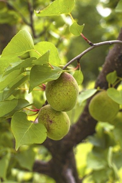 Thinning Apricot Trees When And How To Thin Apricot Fruit Apricot Tree Pruning Fruit Trees Fruit Trees