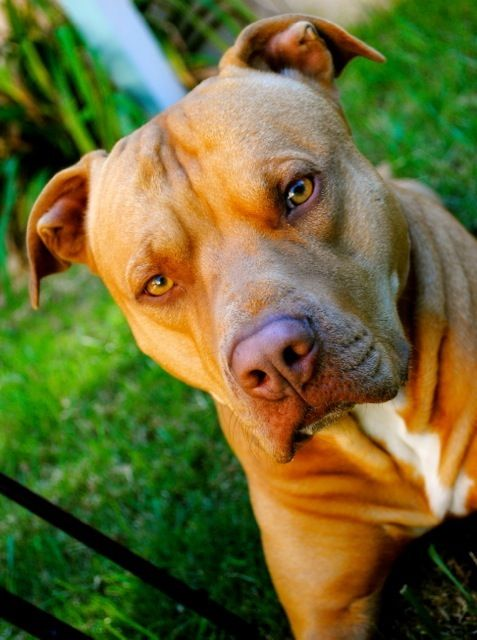 My baby Ruger! #pitbull #rednose   Love   Pitbulls, Dogs ...