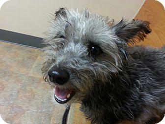 Yorkie Yorkshire Terrier Mix Dog For Adoption In Detroit Michigan Grady Foster Needed Yorkshire Terrier Yorkie Dogs Terrier Mix Dogs