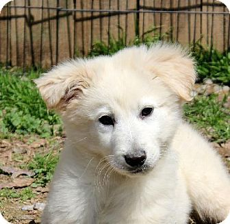 I Really Want This Puppy Yardley Pa Spitz Unknown Type