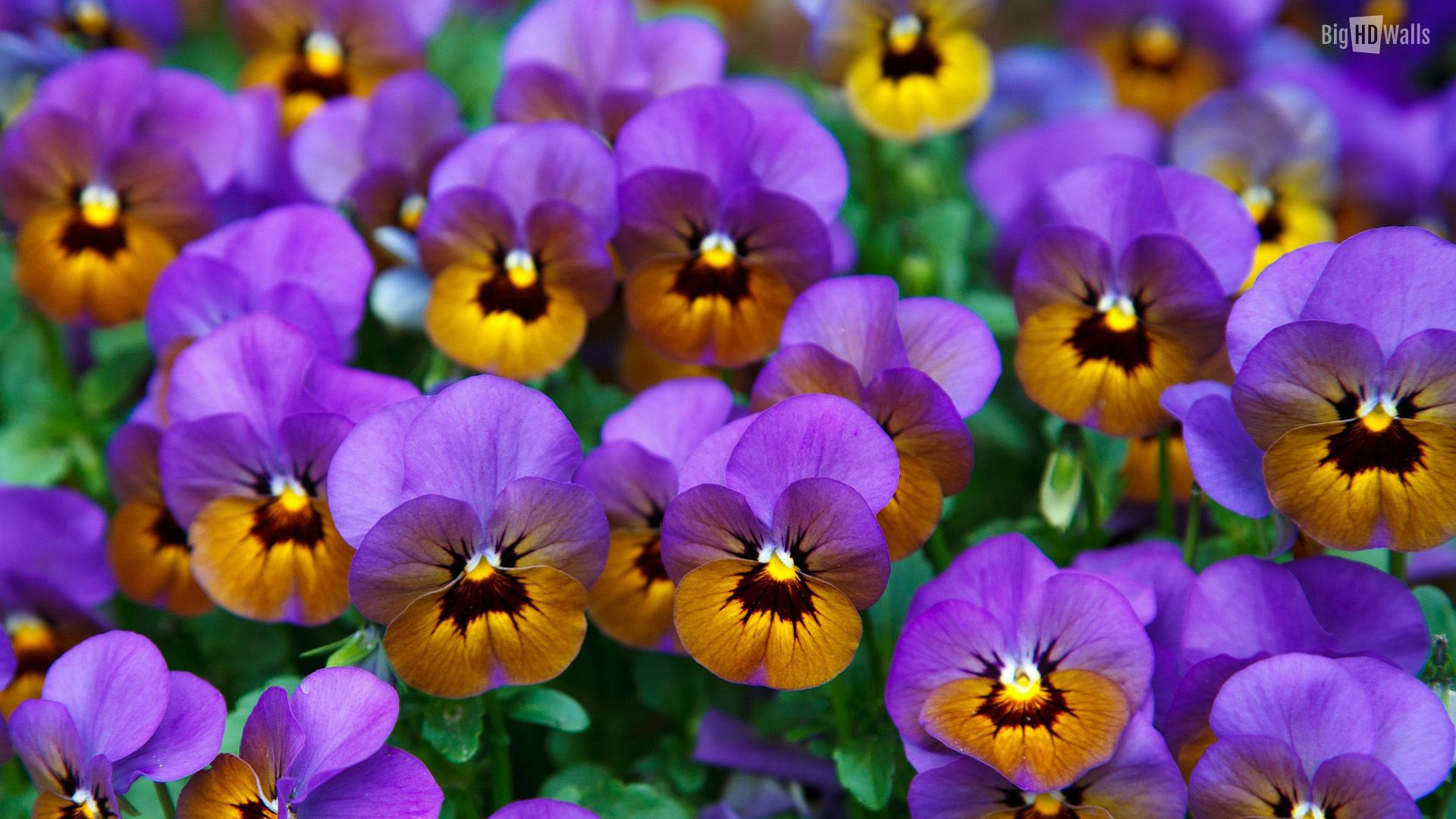Violet flowers desktop wallpaper this wallpaper wallpapers and