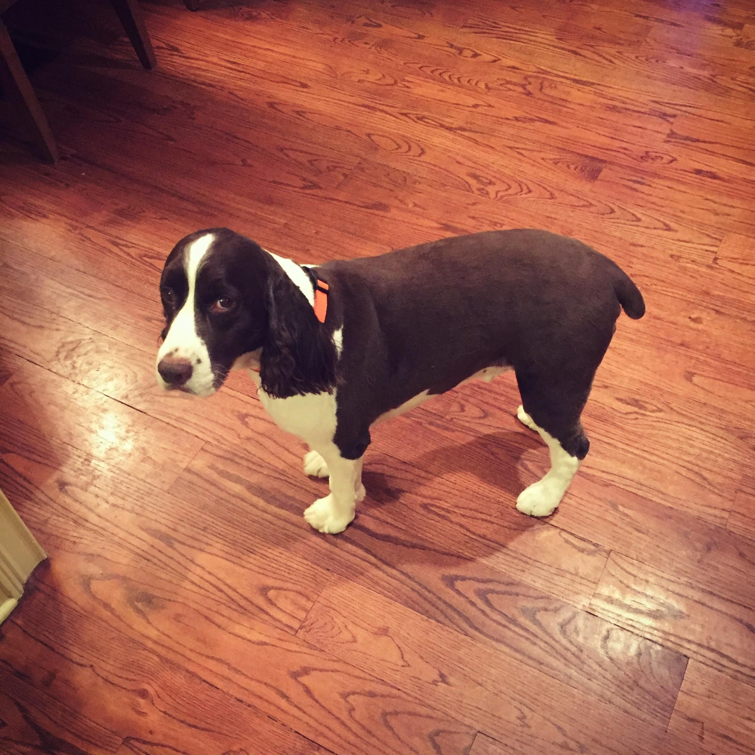 Our English Springer Spaniel Always Has A Fancy Flowing Haircut Except When My Husband Drops Him Off English Springer Spaniel Springer Spaniel English Springer