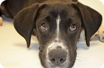 Great Dane Patient And Friendly Great Dane Mix Puppy Adoption