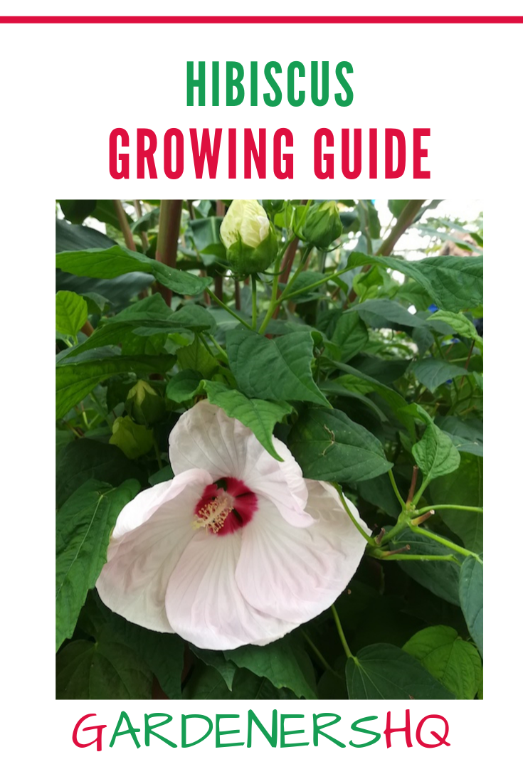 How To Grow And Care For Hibiscus Plants Such As Rose Mallow Goodnight At Noon And Swamp Mallow In The Garden Garde Hibiscus Plant Growing Hibiscus Hibiscus