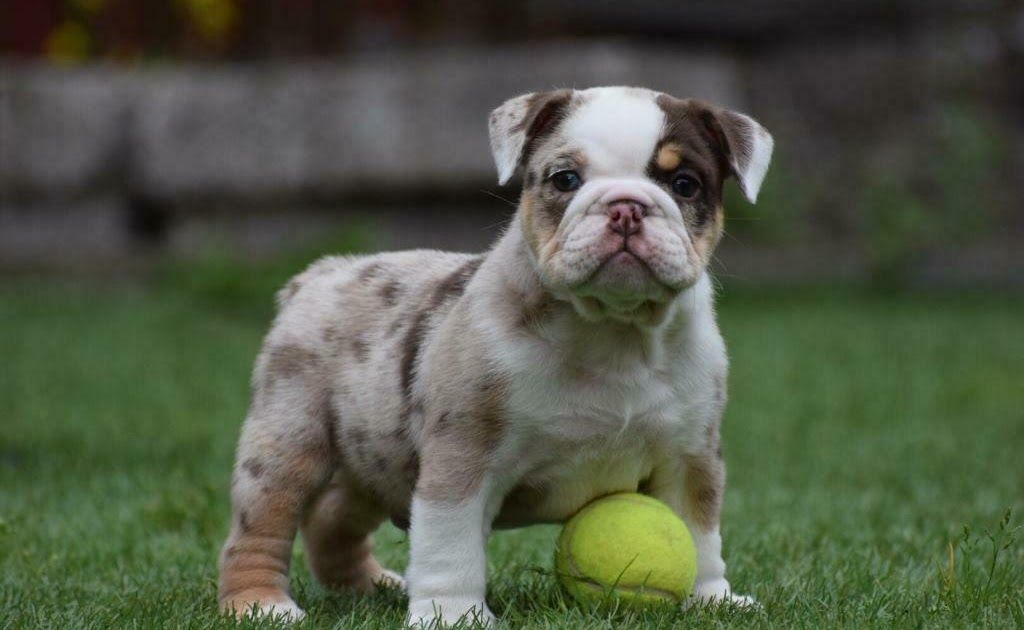 Stunning Choc Merle English Bulldog In East End Glasgow Gumtree