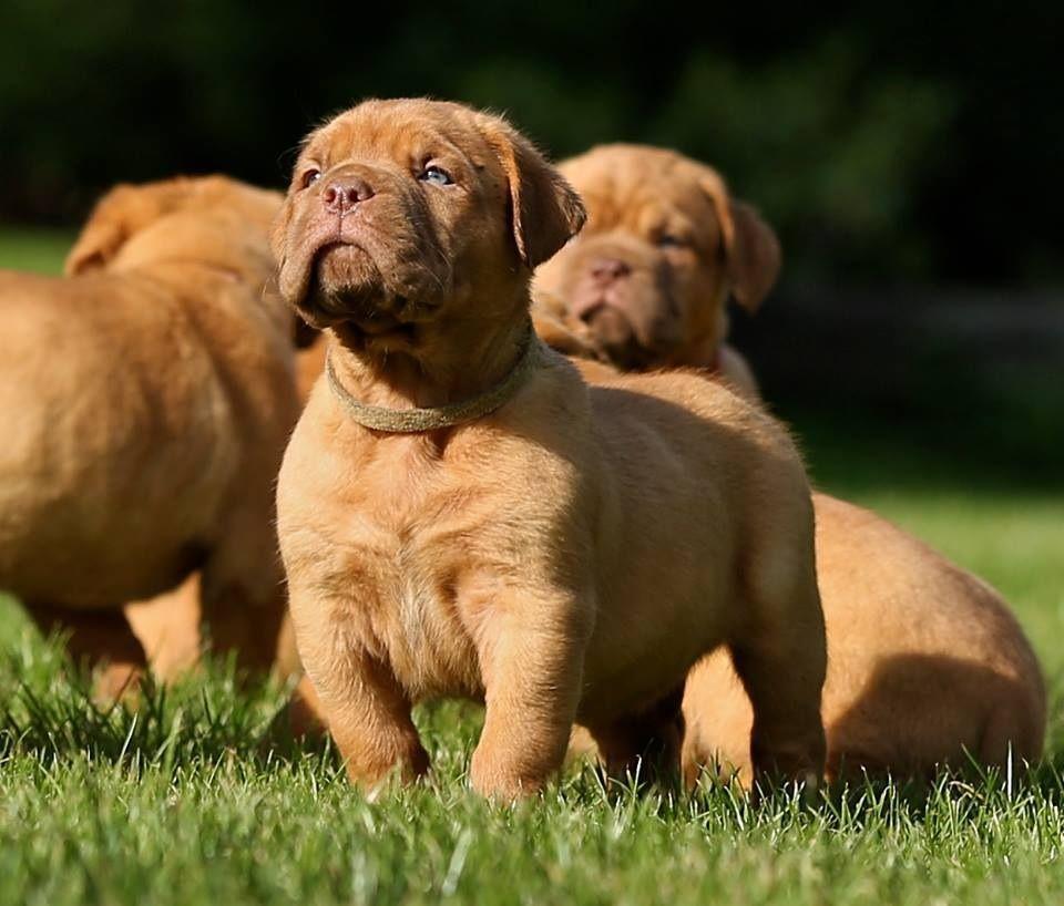 French Mastiff Puppies For Sale In California Ideas