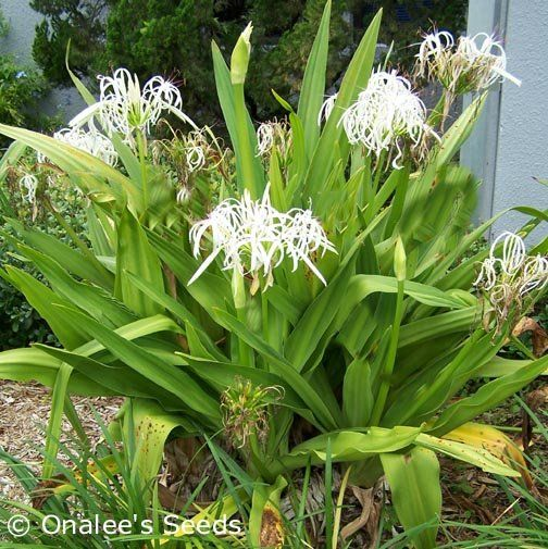 Types Of Lilies In Florida