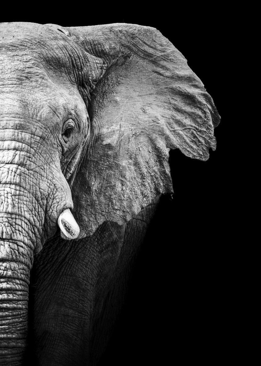 Wild Elephant head Wild Elephant head poster Elephant face wallpaper Elephant black and white… | Displate thumbnail