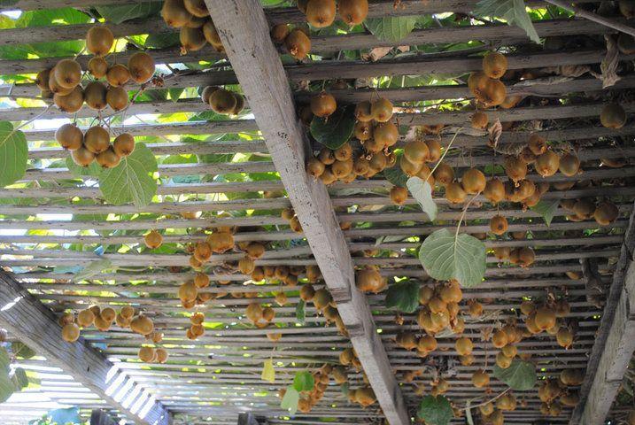 superbe pergola kiwi | Tonnelle jardin, Construire une ...