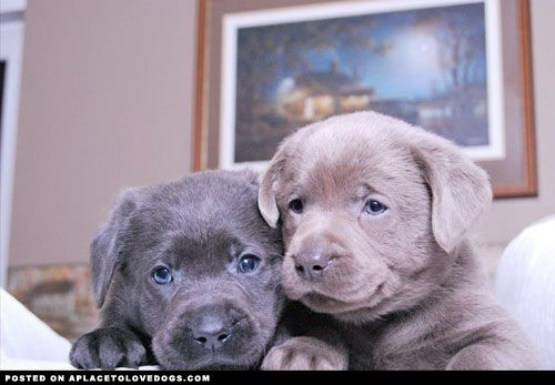 Lab Puppies • APlaceToLoveDogs.com • dog dogs puppy puppies cute doggy doggies adorable funny fun silly photography