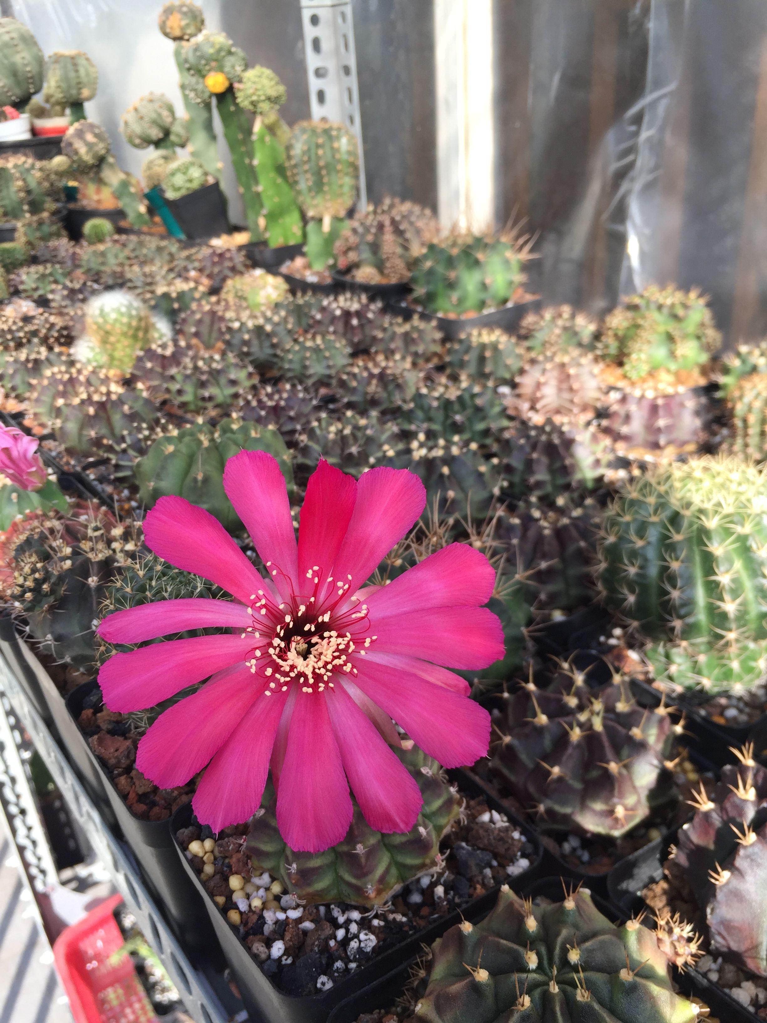 Succulents Succulent Plant Plants Lobivia Lobi Pink Flowers