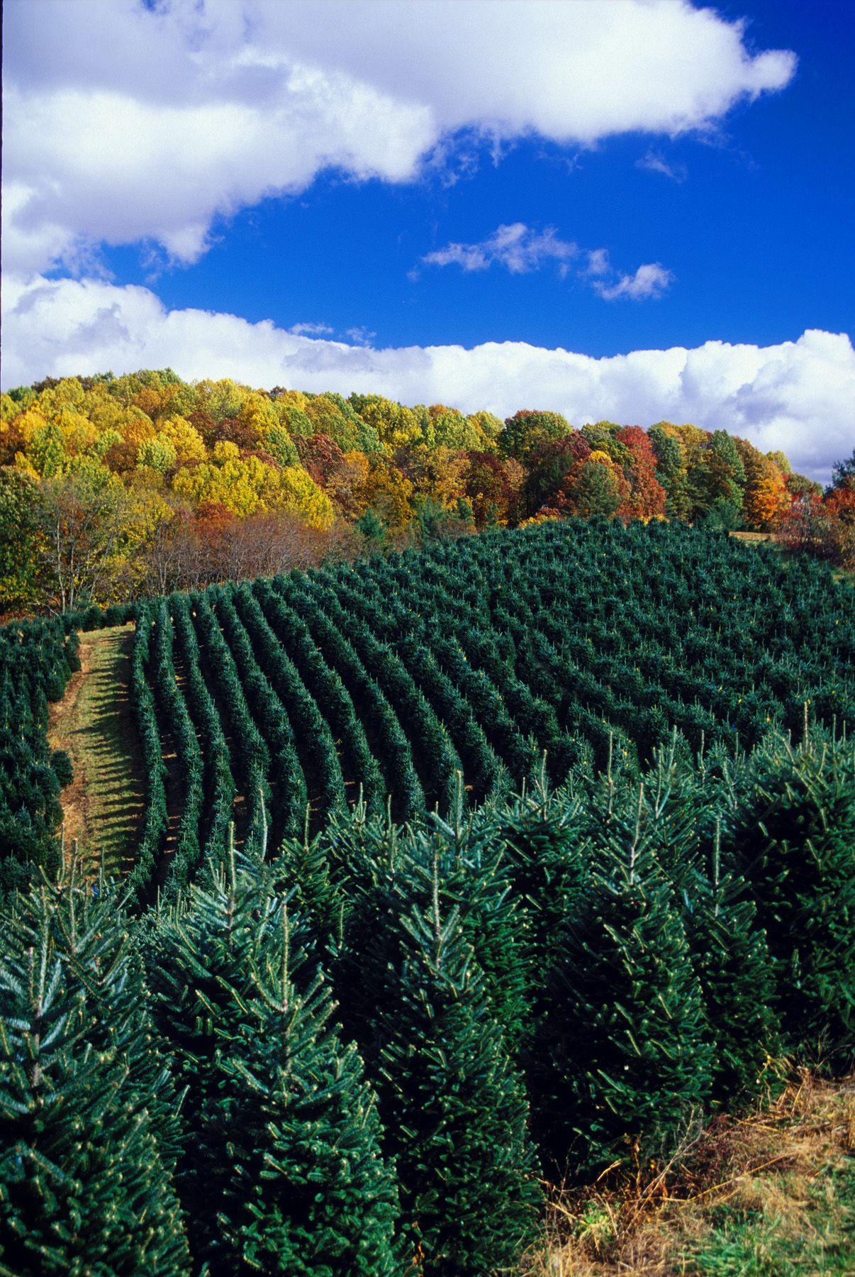 Christmas Tree Farm before the Christmas Season Nc