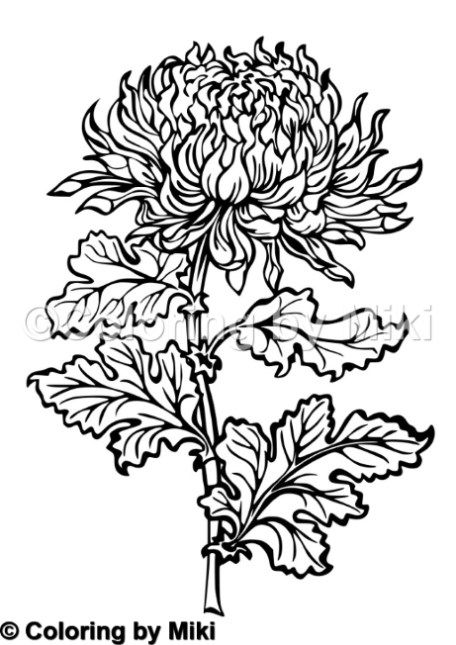 Kiku Chrysanthemum Coloring Page#232 | Ultimate Coloring Pages ...