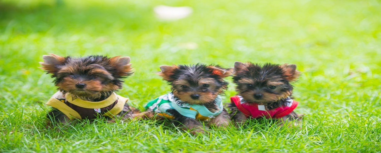 Paradise yorkie home home of registered