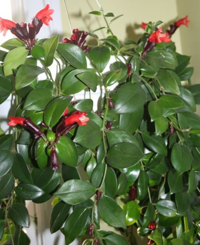 The lipstick plant easy to care for neat tubular flowers for Easy plants to care for