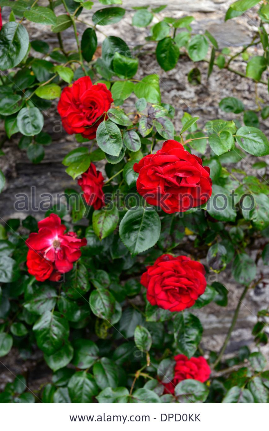 rosa dublin bay climbers climbing flowering flowers roses walls growing on stone wall red flower rose Stock Photo