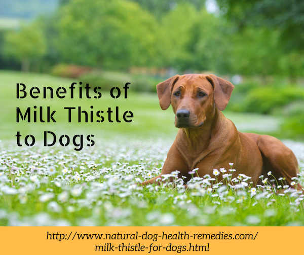 Milk Thistle for Dogs Benefits and Usage Canine cancer