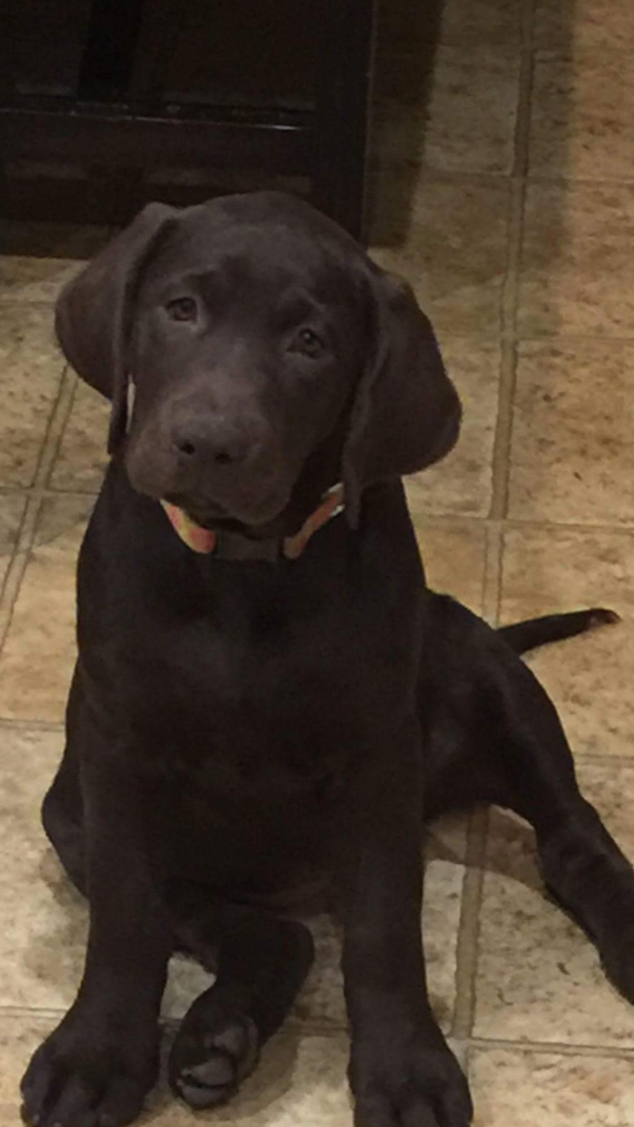 Labradorable Puppy Labrador Retriever Lab Puppies Black Lab Puppies