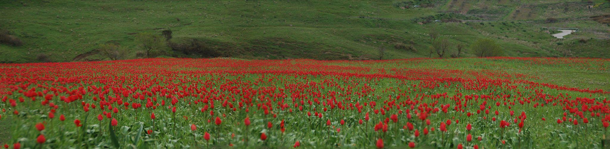 https://flic.kr/p/UXBpd2 | Tulipani a Blufi_edited-1 | La fioritura dei tulipani a Blufi in primavera in un campo vicino la Madonna dell'Olio.