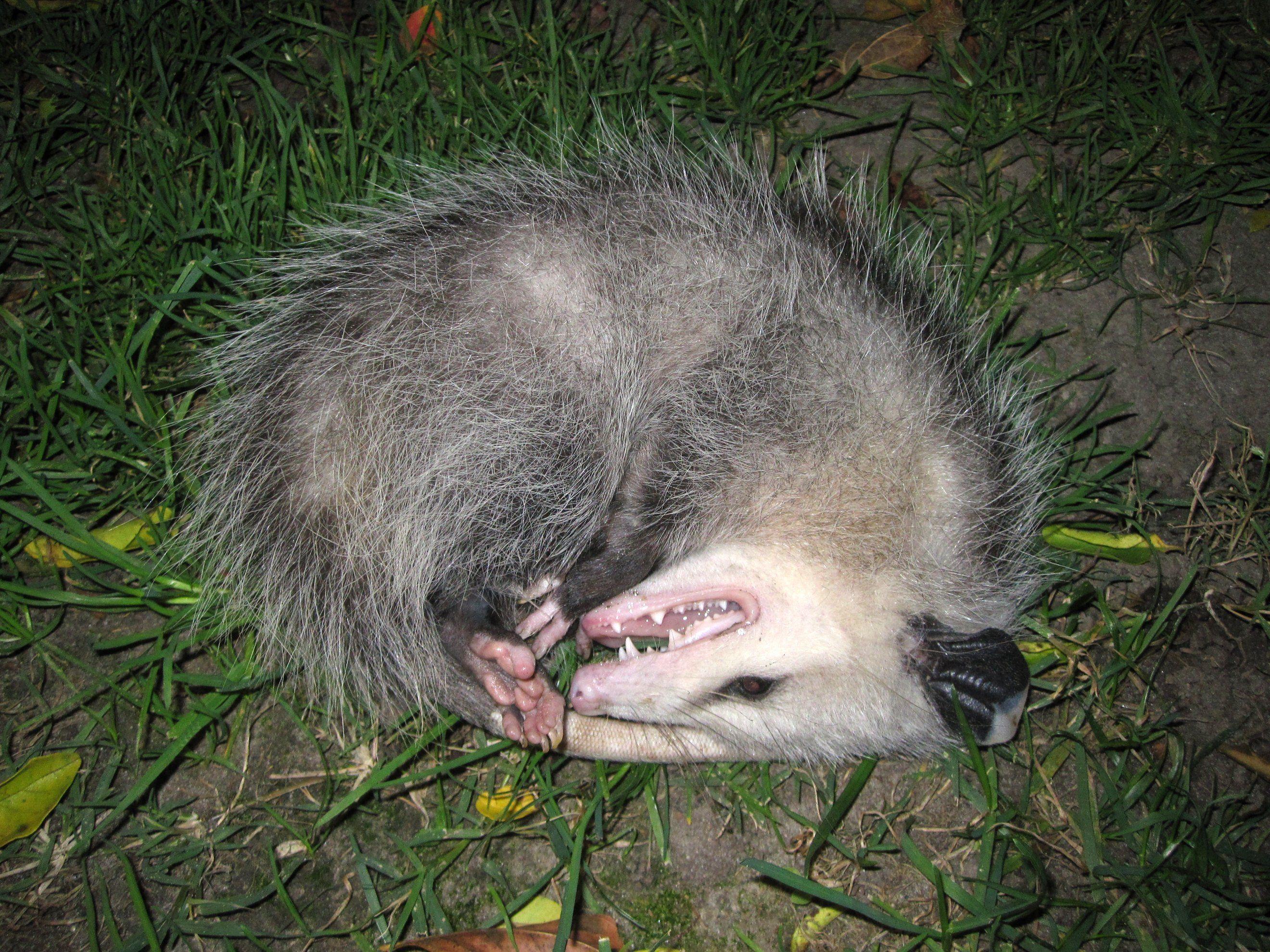 Opposum Playing Possum Opossum Possum Animal Facts