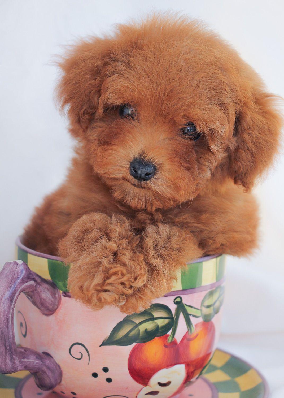 Toy Poodle Puppy Poodle Puppy Toy Poodle Puppy Cute Little Animals